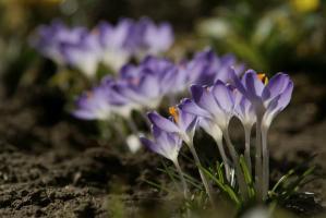 crocus - signs of spring
