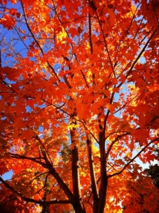 maple_leaves_in_Fall